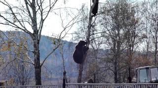 getlinkyoutube.com-Красноуфимск. Медведь лезет за мужиком на березу.