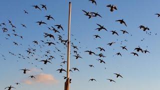 getlinkyoutube.com-TN River Boys: North Dakota Dry Field Duck Hunt