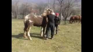 getlinkyoutube.com-Faze tari cu caii. Baieti zburatori par 2