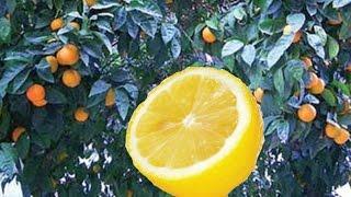 getlinkyoutube.com-Κεντρωμα νερατζιας σε λεμονιά με μάτι