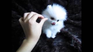 getlinkyoutube.com-HelloPuppy Mini