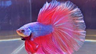 getlinkyoutube.com-International Beta Show, Kontes Ikan Cupang Terindah Skala Dunia