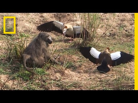Egg-Stealing Baboon Incurs Wrath of Geese | National Geographic