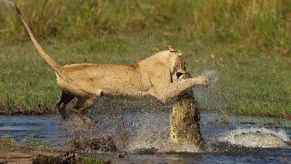 getlinkyoutube.com-Giant ANACONDA vs TIGER, vs LION - Great python vs lion Real Fight !!!