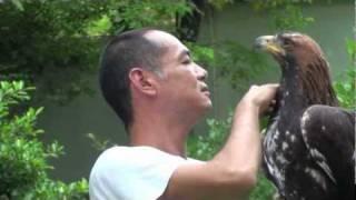 getlinkyoutube.com-Golden Eagle Training, Maning