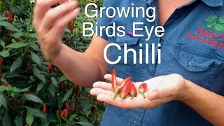 getlinkyoutube.com-Growing Bird Eye Chilli Plants