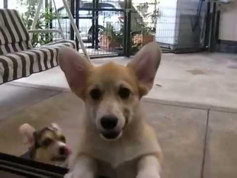 コーギー仔犬 バーミーウィンズ犬舎