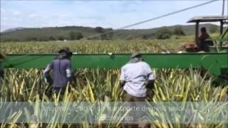 Colheita de abacaxi mecanizada