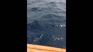 getlinkyoutube.com-ปลาสากดำไซด์เกือบๆ30โลทะเลอันดามัน สตูล
