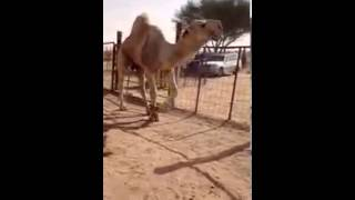 getlinkyoutube.com-الفحل مرعب فحل ابن حشاش العتيبي