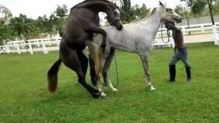 Wild Horse Mating with accident - first strong then weak - Starker Hengst rutscht ab