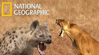 getlinkyoutube.com-Lions Vs Hyenas Endless War - National Geographic Documentary 2015