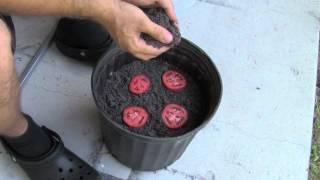 getlinkyoutube.com-The Easiest Way To Grow Tomato Seedlings