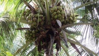 getlinkyoutube.com-Sprinkler Irrigation for Coconut Farms with Inter Crops  - Thumba Agro Technologies, Palani