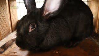 getlinkyoutube.com-Cria de Conejos - Cunicultura
