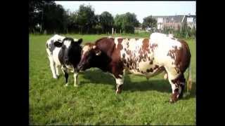 getlinkyoutube.com-Love bull