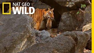 getlinkyoutube.com-Tiger Cub Escape | Secret Life of Tigers
