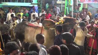 getlinkyoutube.com-First Time Sadar Fetival's Shalibanda New 2014 - Hyderabad   Famous Yadav's Eddula (Bull) Dance's
