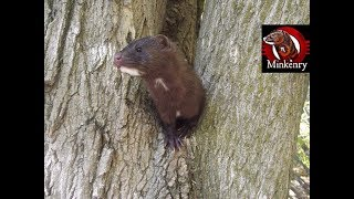What is a Mink? width=
