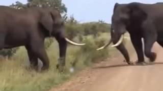 Gajah Vs Gajah   Pertarungan Gajah Sampai Mati