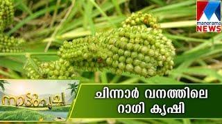getlinkyoutube.com-Ragi farming in Chinnar forest  | Manorama News