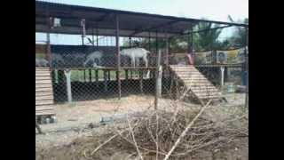 getlinkyoutube.com-Stall Fed Goat Farming