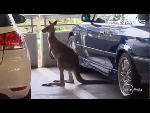Police chase a kangaroo in the Melbourne Airport carpark
