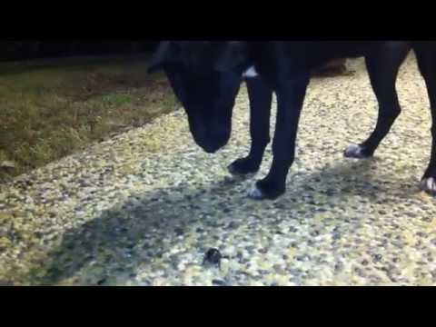 6 Month Border Collie Kelpie Cross 'Tilly' vs Large Beetle (beetle wins)