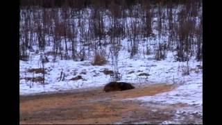getlinkyoutube.com-Hunting for wild boar Compilation #1