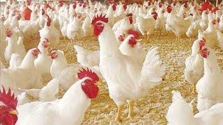 getlinkyoutube.com-تربية الدجاج اللاحم تربية الفراخ