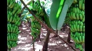 getlinkyoutube.com-Grand naine banana farm