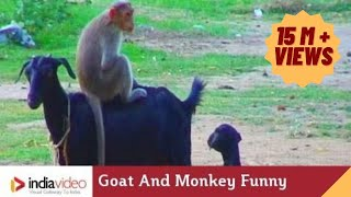 getlinkyoutube.com-Goat And Monkey Funny Video | India Video