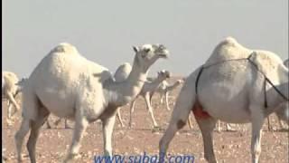 getlinkyoutube.com-منقية الشيخ فهيد بن فنيسان السبيعي