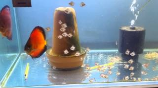 getlinkyoutube.com-Sunny discus centre in Hong Kong aquarium fish farm