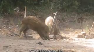 getlinkyoutube.com-ظاهرة غريبة بغابة الرميلات بطنجة حول تعايش الخنازير الوحشية مع الناس العادين