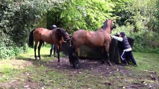 getlinkyoutube.com-Part bred Arab stallion with maiden mare covering