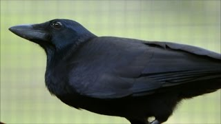 Are Crows the Ultimate Problem Solvers? | Inside the Animal Mind | BBC Earth width=