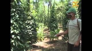 getlinkyoutube.com-Cambodia-Black Pepper Disaese ឯកសារស្តីអំពីជំងឺដំណាំម្រេច ធុរេន វិធីការពារ និងព្យាបាល