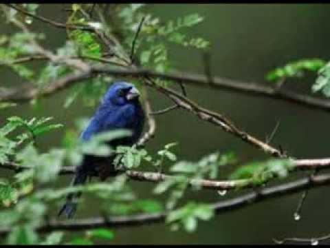 azulão macho com femea 100% canto