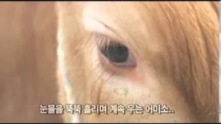 getlinkyoutube.com-자식과 이별 눈치 챈 어미소 '눈물'