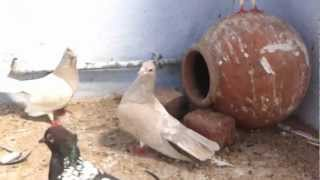 getlinkyoutube.com-Agra beautiful pigeons 41 India-Indian