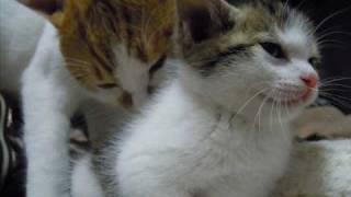 getlinkyoutube.com-先住猫、子猫に出会う