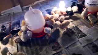 getlinkyoutube.com-Ternak Ayam Kampung Super part 1 - umur 5 harian