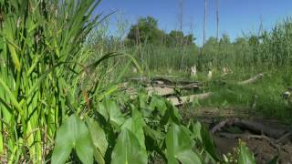 Morning Swamp. Free Stock Footage