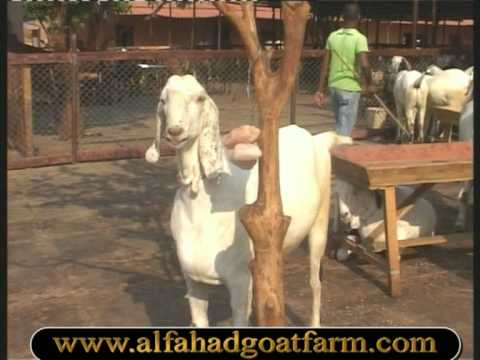Al Fahad Goat Farm http://video-hned.com/Goat+Farming+India/