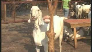 getlinkyoutube.com-Al Fahad Goat Farm