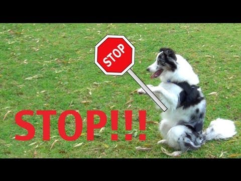 Safety Stay- clicker dog training tricks
