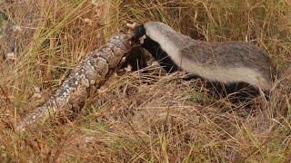 getlinkyoutube.com-Snake Killers: Honey Badgers of The Kalahari [Nature Documentary]