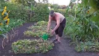 getlinkyoutube.com-Выращивание огурцов в огороде. Огурцы на даче в огороде