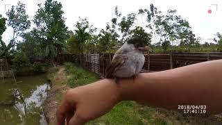 Belajar Melatih Anak Burung Kutilang width=